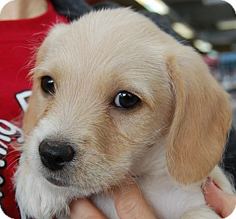 Terrier (Unknown Type, Small)/Cocker Spaniel Mix Puppy for adoption in West Los Angeles, California - Marbles