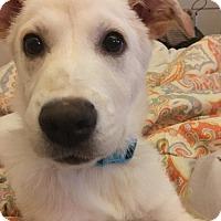 Labrador Retriever Mix Puppy for adoption in Nashville, Tennessee - Lucky