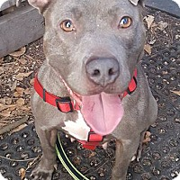 American Staffordshire Terrier Mix Dog for adoption in Savannah, Georgia - Dinah