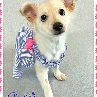 Adopt A Pet :: Ravioli - Phoenix, AZ