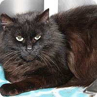 Adopt A Pet :: Dominique (Spayed) - Marietta, OH