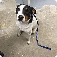 Adopt A Pet :: Jax - Schererville, IN