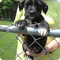 Adopt A Pet :: AISHA - Williston Park, NY