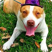 Adopt A Pet :: Francis - N - Huntington, NY
