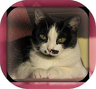 Domestic Mediumhair Cat for adoption in Laconia, Indiana - Midge Monroe