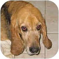 Adopt A Pet :: Clarence - Phoenix, AZ