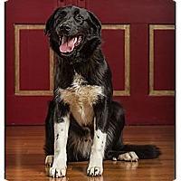 Adopt A Pet :: Boomer - Owensboro, KY