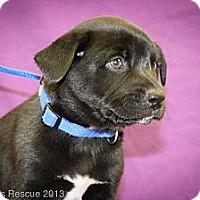 Adopt A Pet :: Quark - Broomfield, CO