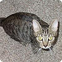 Adopt A Pet :: Demi (Kissing Bobtail) - Arlington, VA