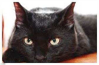 Domestic Shorthair Cat for adoption in Milwaukee, Wisconsin - Fire