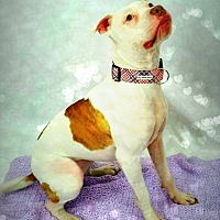 American Pit Bull Terrier/American Staffordshire Terrier Mix Dog for adoption in Toledo, Ohio - Dharma