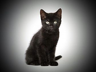 Domestic Shorthair Cat for adoption in Weimar, California - Blackie