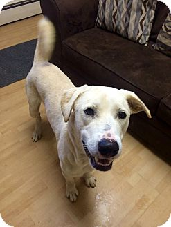 Labrador Retriever Mix Dog for adoption in Manchester, Connecticut - Q tip in CT