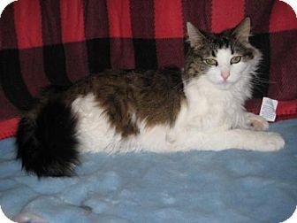 Norwegian Forest Cat Cat for adoption in Agoura Hills, California - Rosie