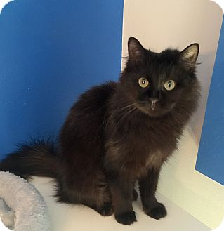Domestic Longhair Cat for adoption in Mount Pleasant, South Carolina - Abigail