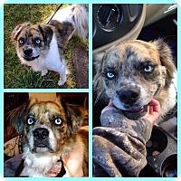 Adopt A Pet :: Kovu - Albuquerque, NM