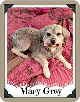 Schnauzer (Miniature) Mix Dog for adoption in Arlington, Texas - Macy GREY - ADOPTION PENDING