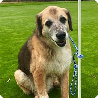 Shepherd (Unknown Type)/Coonhound (Unknown Type) Mix Dog for adoption in pasadena, California - BEAR