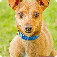 Adopt A Pet :: Boots - Marina del Rey, CA