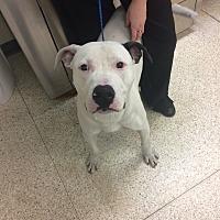 Adopt A Pet :: Domino - University Park, IL