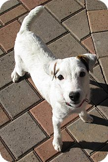 Jack Russell Terrier Dog for adoption in Scottsdale, Arizona - CRYSTAL