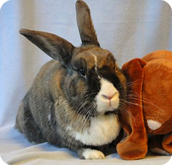 Dutch Mix for adoption in Los Angeles, California - Elder Gentlebun