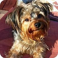 Adopt A Pet :: Bella Maria - Ashland City, TN