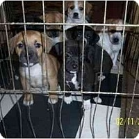 Adopt A Pet :: PUGGLE PUPPIES - Rossford, OH