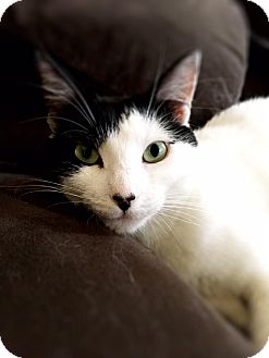 Domestic Shorthair Cat for adoption in New York, New York - Bianca