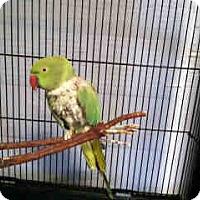 Adopt A Pet :: Ringo - Sylmar, CA