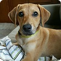 Adopt A Pet :: Annie Mae in Ct - Manchester, CT