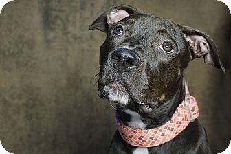 Pit Bull Terrier Mix Dog for adoption in Cliffside Park, New Jersey - RAVEN