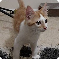 Domestic Shorthair Kitten for adoption in Savannah, Georgia - Aly