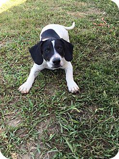 Hound (Unknown Type) Mix Puppy for adoption in Brunswick, Maine - Gracie
