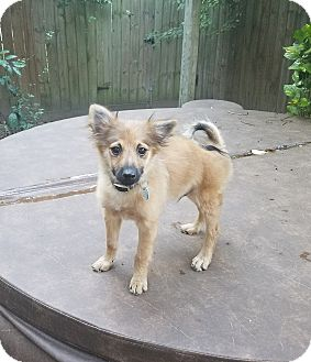 Pomeranian Puppy for adoption in conroe, Texas - Butterbean