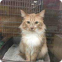 Domestic Mediumhair Cat for adoption in Bronson, Florida - Charlie