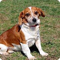 Corgi Mix Dog for adoption in richmond, Virginia - HUNTER
