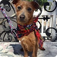 Adopt A Pet :: Pappi (BH) - Santa Ana, CA
