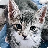 Adopt A Pet :: Rain - New York, NY