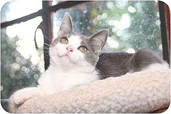 Domestic Shorthair Kitten for adoption in Winston-Salem, North Carolina - Sissy