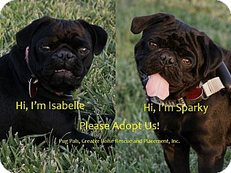 Pug Puppy for adoption in Eagle, Idaho - Isabelle