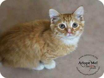 Domestic Shorthair Kitten for adoption in Phoenix, Arizona - Gizmo