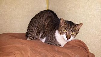 Domestic Shorthair Cat for adoption in Iroquois, Illinois - Lolita