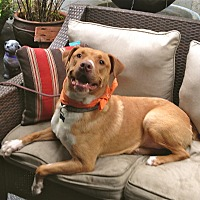 Labrador Retriever/American Staffordshire Terrier Mix Dog for adoption in Los Angeles, California - Handsome Lucas