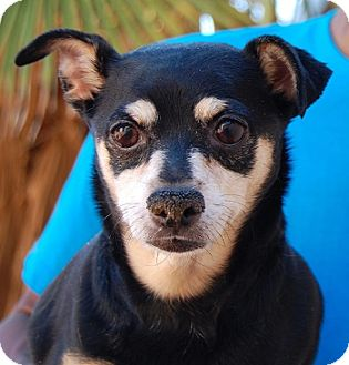 Miniature Pinscher Mix Dog for adoption in Las Vegas, Nevada - Landon
