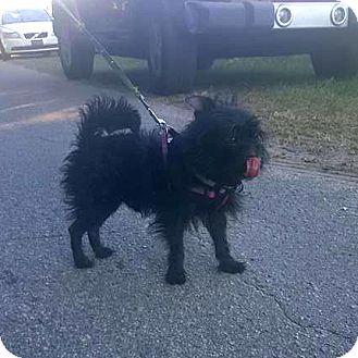 Poodle (Miniature)/Maltese Mix Dog for adoption in Savannah, Georgia - Java