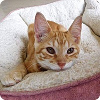 Domestic Shorthair Kitten for adoption in St. Francisville, Louisiana - Landry