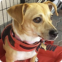 Dachshund/Chihuahua Mix Dog for adoption in Lancaster, California - Sandy