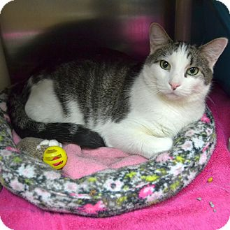Domestic Shorthair Cat for adoption in Wheaton, Illinois - Oliver