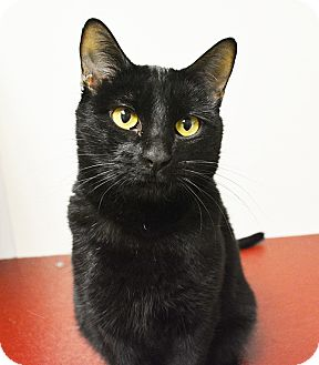 Domestic Shorthair Cat for adoption in Springfield, Illinois - Allory